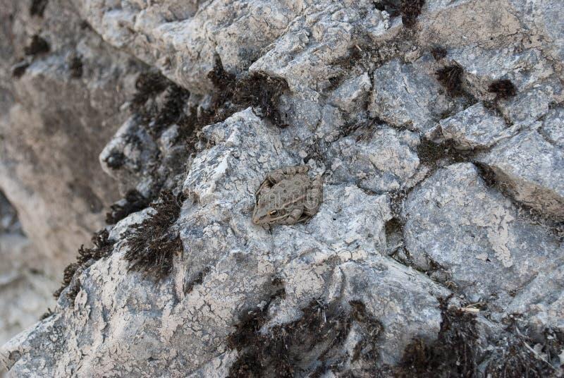 Φρύνος σε μια πέτρα στοκ φωτογραφίες