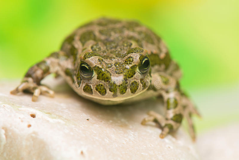 Φρύνος - viridis Bufotes στοκ φωτογραφία