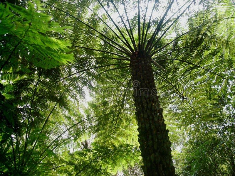 Φτέρη δέντρων ενδοχωρών