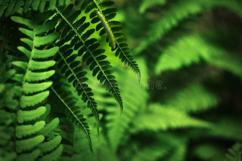 φτέρη καμπιών πράσινη στοκ φωτογραφία με δικαίωμα ελεύθερης χρήσης