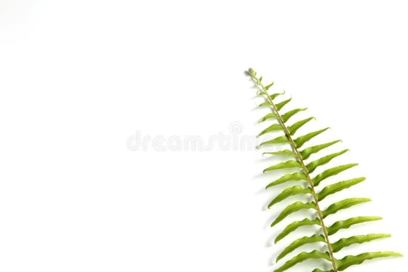 Φτέρη ξιφών βολβών στο άσπρο υπόβαθρο στοκ εικόνες με δικαίωμα ελεύθερης χρήσης