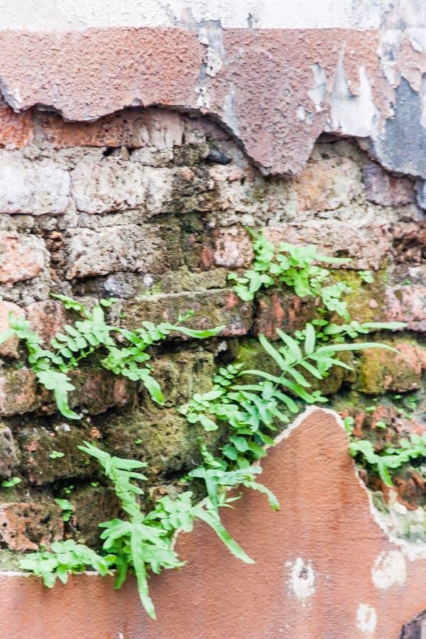 Φτέρη που ζει στον τοίχο τούβλων στοκ εικόνα με δικαίωμα ελεύθερης χρήσης