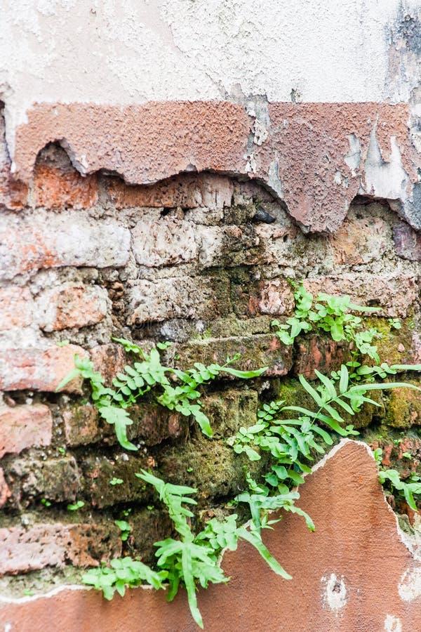 Φτέρη που ζει στον τοίχο τούβλων στοκ εικόνες με δικαίωμα ελεύθερης χρήσης