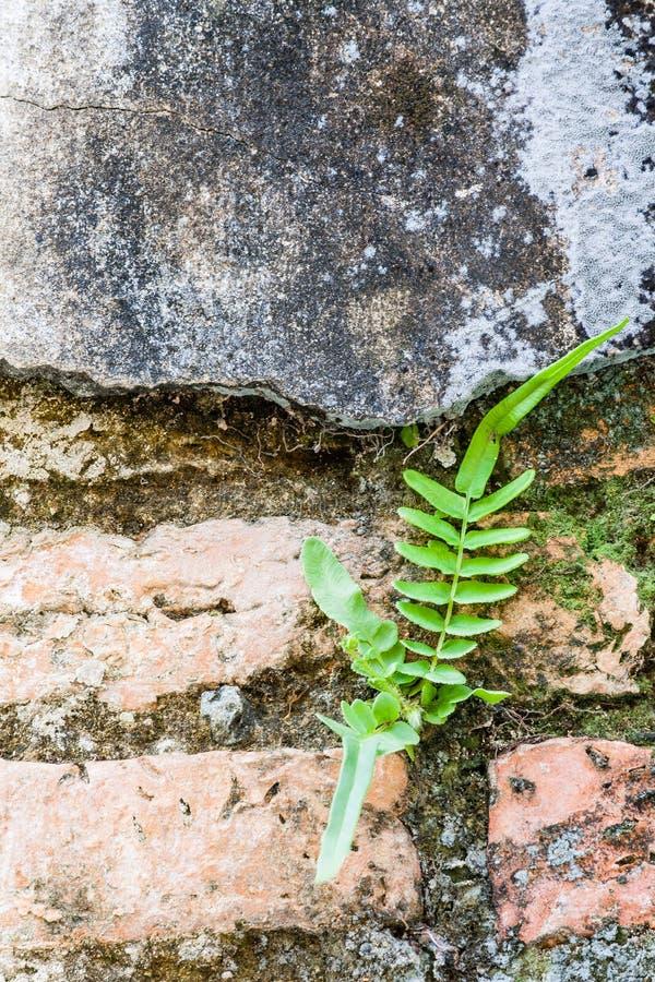 Φτέρη που ζει στον τοίχο τούβλων στοκ εικόνα