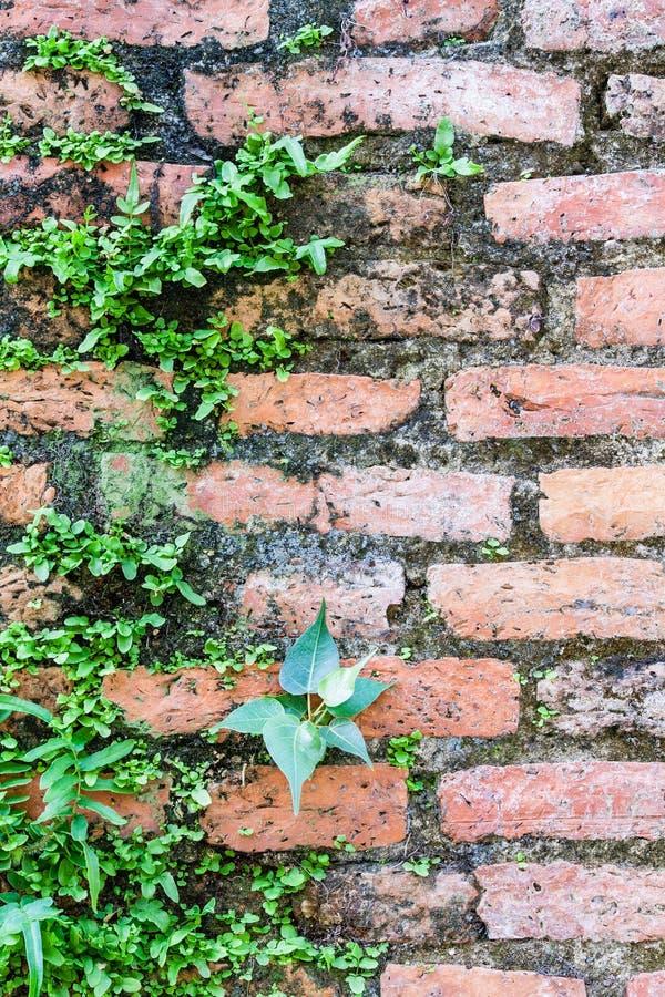 Φτέρη που ζει στον τοίχο τούβλων στοκ εικόνες