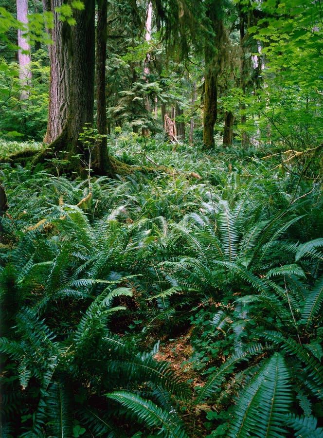 Φτέρη στο δάσος στοκ εικόνα
