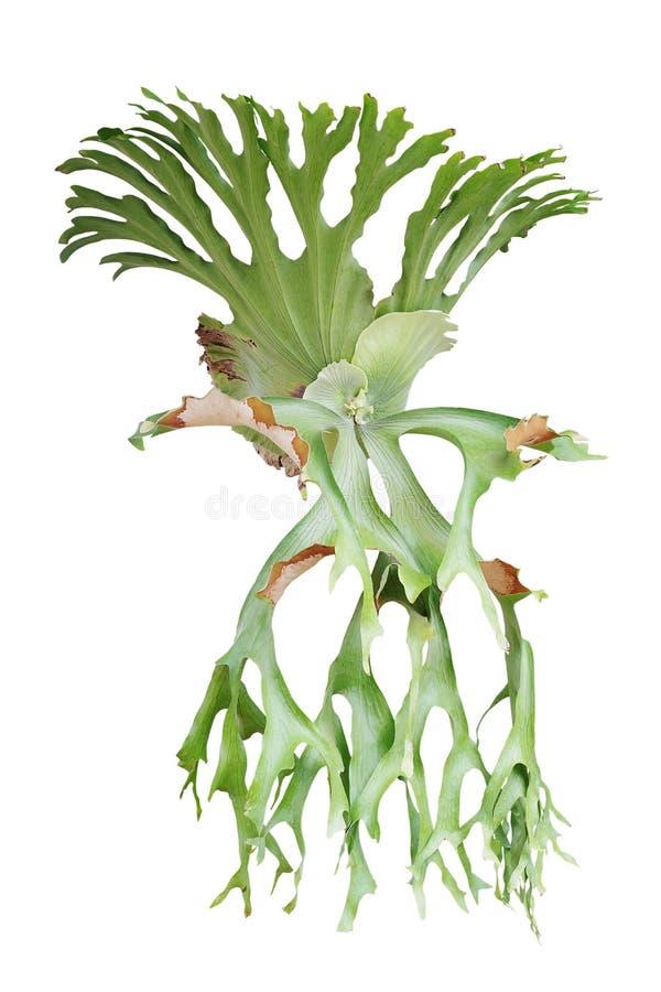 Φτέρη Staghorn, superbum Platycerium, διακοσμητικές τροπικές εγκαταστάσεις ι στοκ εικόνα