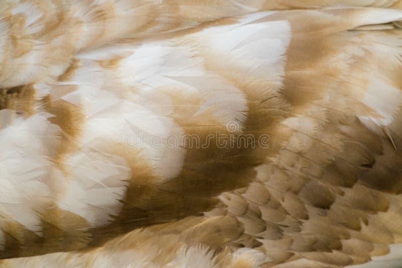 Φτέρωμα του Κύκνου στοκ φωτογραφία