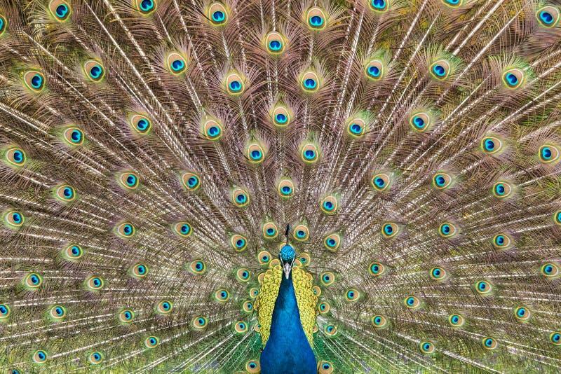 Φτέρωμα Peacock στοκ εικόνες