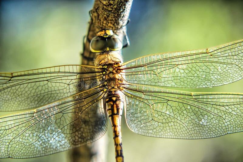 φτερά της λιβελλούλης στοκ εικόνα με δικαίωμα ελεύθερης χρήσης