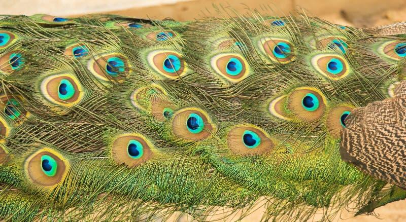 Φτερά του Peacock στοκ φωτογραφίες