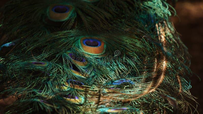 Φτερά του Peacock στοκ φωτογραφία με δικαίωμα ελεύθερης χρήσης
