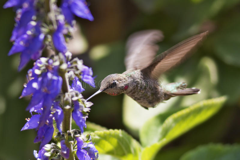 φτερά υδραργύρου στοκ φωτογραφία
