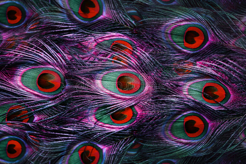 Φτερά Peacock στοκ φωτογραφία με δικαίωμα ελεύθερης χρήσης