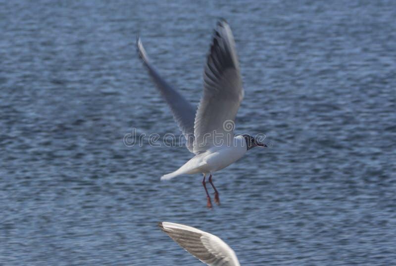 Φτερό και μαυροκέφαλο ridibundus Chroicocephalus γλάρων ενάντια στα μπλε σαφή νερά της λίμνης Οχρίδα, Μακεδονία στοκ φωτογραφίες με δικαίωμα ελεύθερης χρήσης