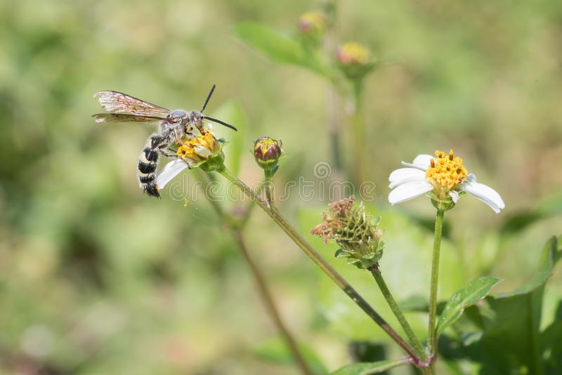 Φτερό-με πόδια σφήκα Scolid στα μαύρα λουλούδια του Jack στοκ εικόνες