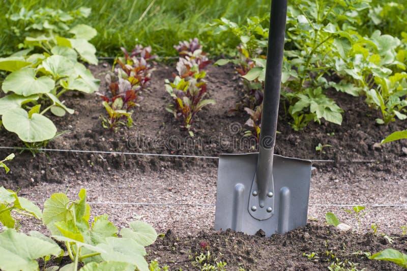 Φτυάρι στο φυτικό κήπο Κουζίνα-κήπος Νεαροί βλαστοί τεύτλων, πατατών και κολοκύθας συγκομιδών στοκ εικόνα με δικαίωμα ελεύθερης χρήσης
