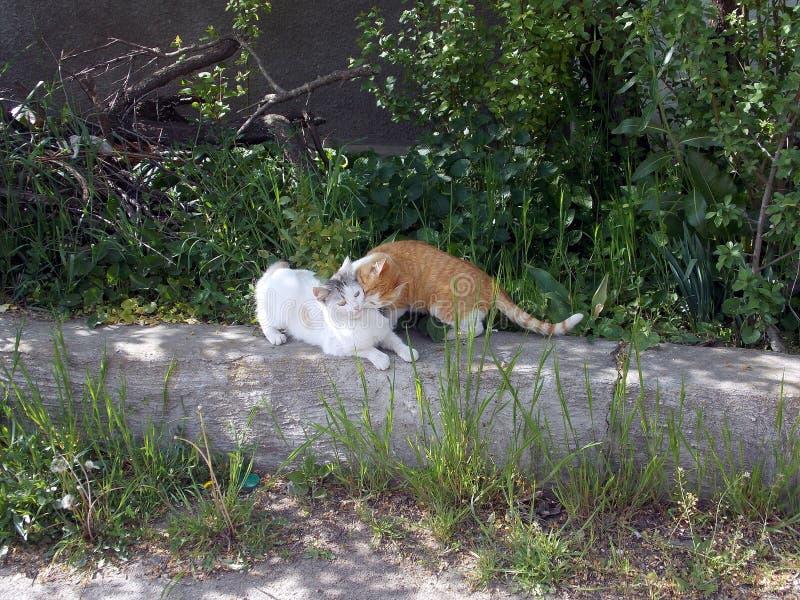 Φυλή και αγκαλιά δύο ευτυχής γατών στο bardyur στοκ εικόνες