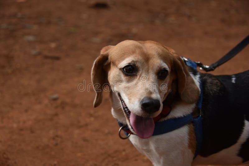 Φυλή σκυλιών κατοικίδιων ζώων λαγωνικών στοκ φωτογραφία