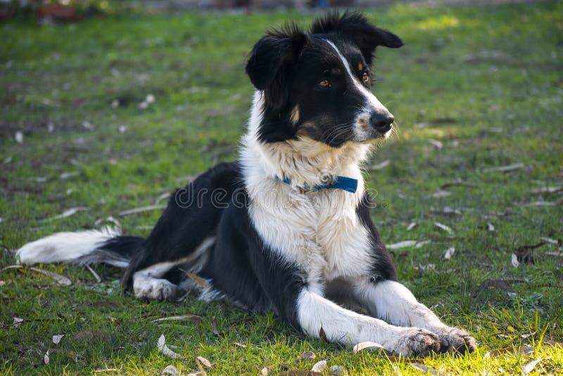 Φυλή σκυλιών κόλλεϊ συνόρων στην άγρυπνη τοποθέτηση στοκ εικόνα