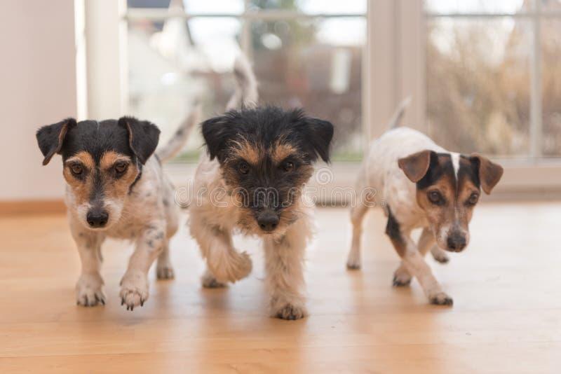 Φυλή σκυλιών στο διαμέρισμα - τεριέ του Russell τριών γρύλων στοκ φωτογραφία με δικαίωμα ελεύθερης χρήσης