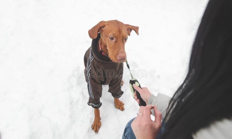 Φυλή σκυλιών του μαγυαρικού vizsla στα ενδύματα και σε ετοιμότητα ένα λουρί και μιας γυναίκας που παίζει με ένα κατοικίδιο ζώο στ στοκ φωτογραφίες με δικαίωμα ελεύθερης χρήσης