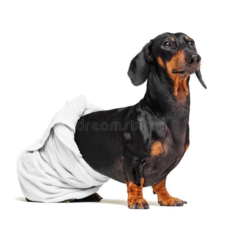 Φυλή σκυλιών του dachshund, του Μαύρου και του μαυρίσματος, μετά από ένα λουτρό με μια άσπρη πετσέτα που τυλίγεται γύρω από το σώ στοκ φωτογραφία