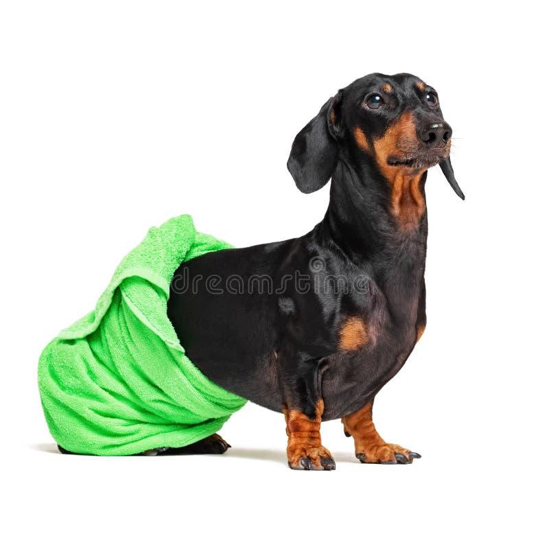 Φυλή σκυλιών του dachshund, του Μαύρου και του μαυρίσματος, μετά από ένα λουτρό με μια πράσινη πετσέτα που τυλίγεται γύρω από το  στοκ φωτογραφίες με δικαίωμα ελεύθερης χρήσης