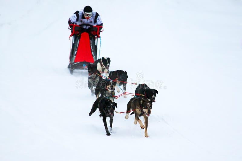 Φυλή των σκυλιών σχεδίων στοκ φωτογραφίες