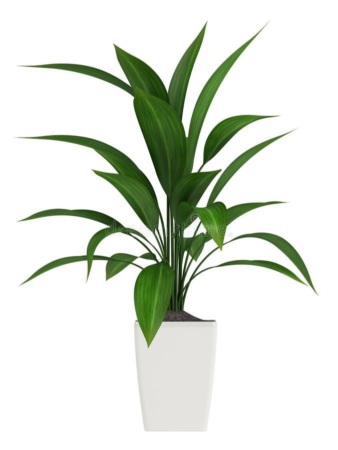 Φυλλώδες aspidistra houseplant απεικόνιση αποθεμάτων