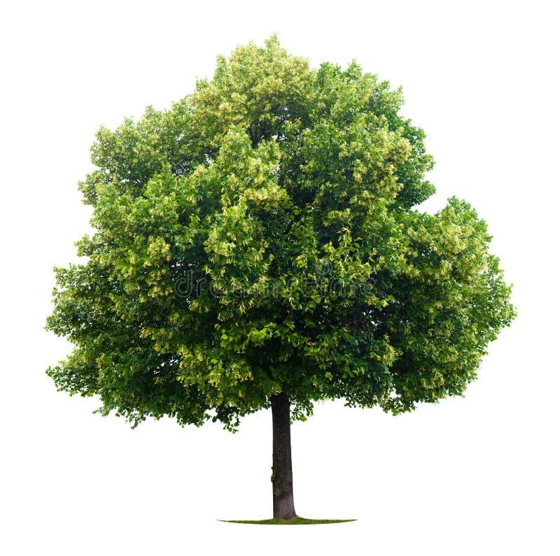 φυλλώδης το δέντρο στοκ εικόνες