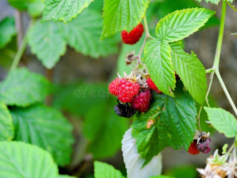Φυσικά κόκκινα άγρια μούρα φρούτων στοκ φωτογραφίες με δικαίωμα ελεύθερης χρήσης