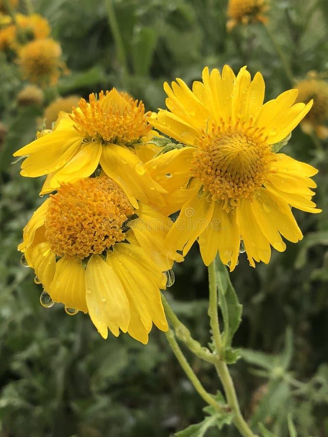 Φυσικά λουλούδια DSLR κήπων κίτρινα στοκ φωτογραφία με δικαίωμα ελεύθερης χρήσης