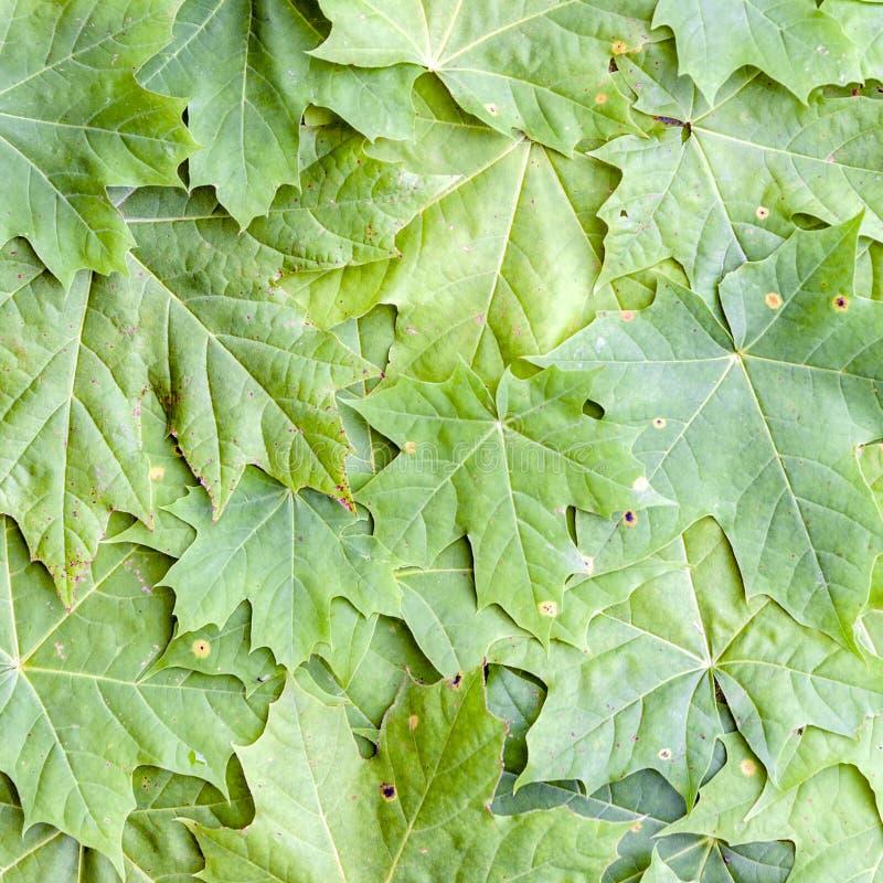 Φυσικές πράσινες υπόβαθρο και σύσταση φύλλων δέντρων σφενδάμνου στοκ εικόνα