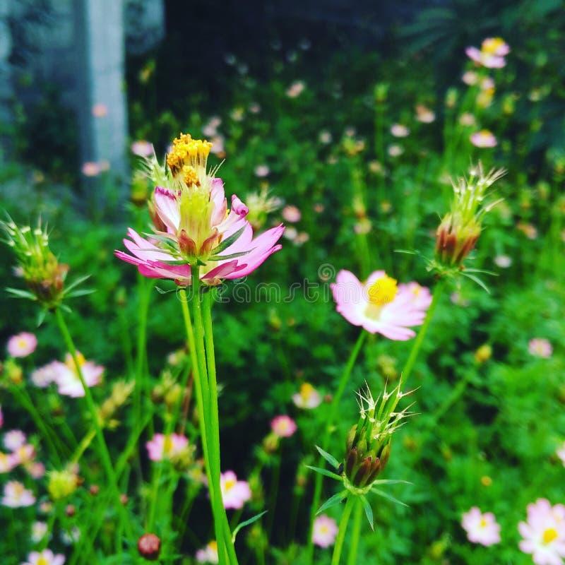 φυσική βιολέτα πρωινού δόξας λουλουδιών χρώματος ανασκόπησης στοκ εικόνες με δικαίωμα ελεύθερης χρήσης