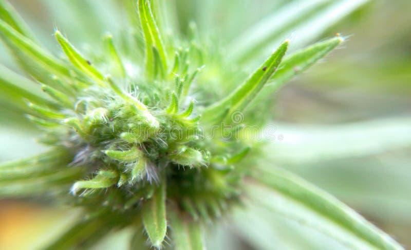 Φυσική κινηματογράφηση σε πρώτο πλάνο μαριχουάνα στοκ εικόνα με δικαίωμα ελεύθερης χρήσης
