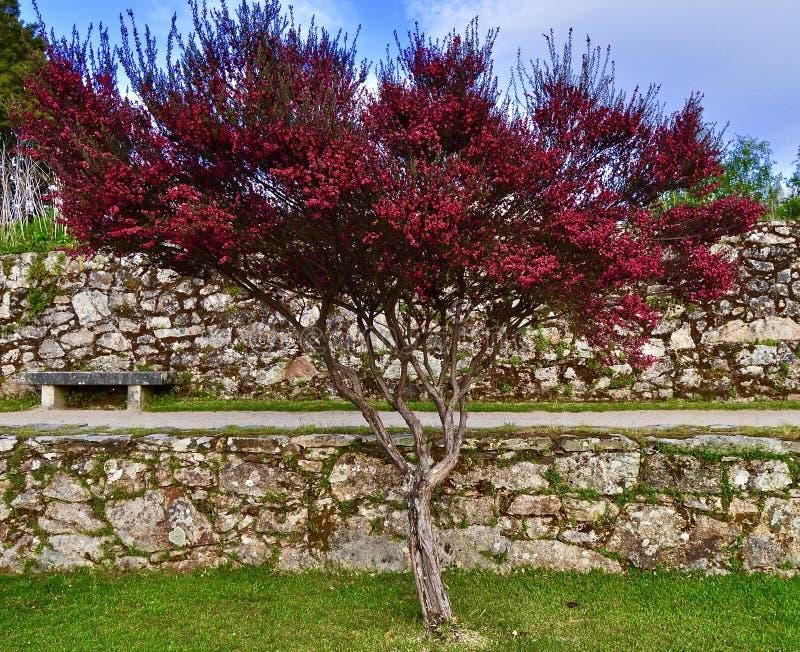 Φυσική ομορφιά ενός ρόδινου δέντρου στοκ εικόνες