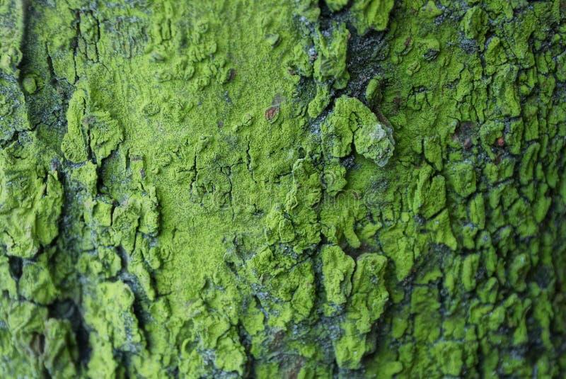 Φυσική πράσινη σύσταση του ξηρού φλοιού σε ένα δέντρο στοκ εικόνα με δικαίωμα ελεύθερης χρήσης
