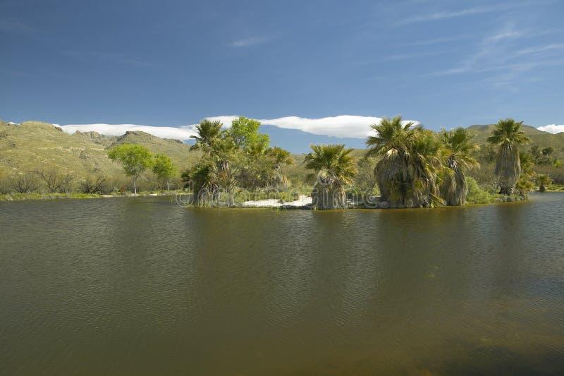 Φυσικοί ελατήρια και φοίνικες, μια φυσική όαση στο φαράγγι Agua στο Tucson, AZ στοκ εικόνες με δικαίωμα ελεύθερης χρήσης