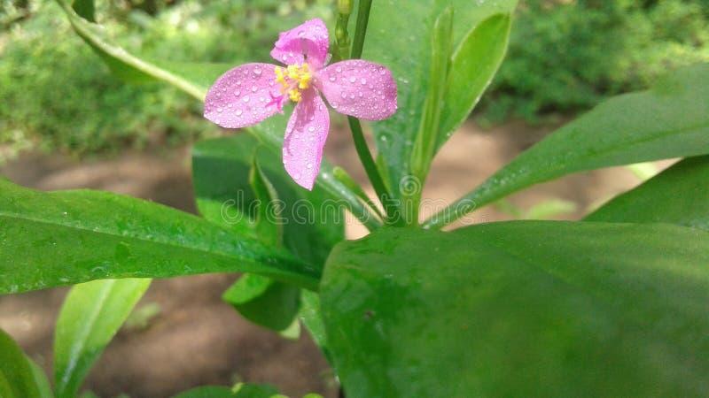 Φυσικό άγριο λουλούδι στη Σρι Λάνκα στοκ εικόνες