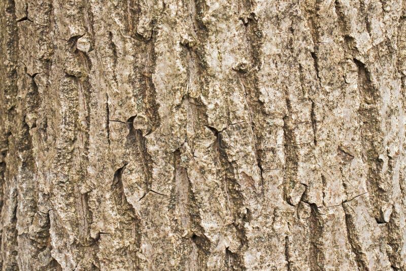 φυσικό δέντρο φλοιών Σύσταση του robiniya φλοιών, μακροεντολή στοκ εικόνες με δικαίωμα ελεύθερης χρήσης