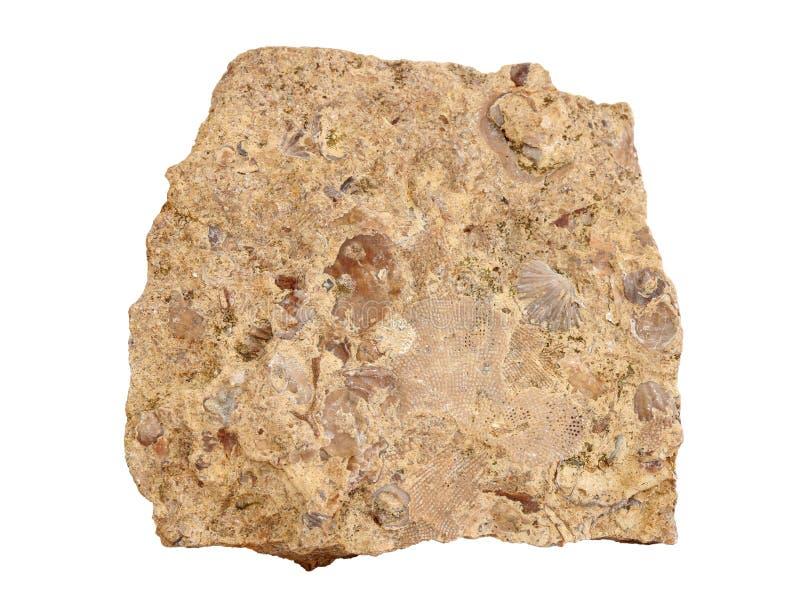 Φυσικό δείγμα του ασβεστόλιθου που αποτελείται από τα ασβεστούχα μέρη των αρχαίων μαλακίων, bryozoans και των crinoids στο άσπρο  στοκ φωτογραφίες