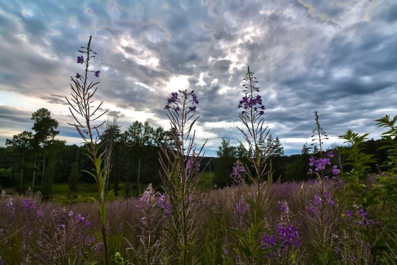 Φυσικό θερινό τοπίο με τα πορφυρά λουλούδια στοκ εικόνες