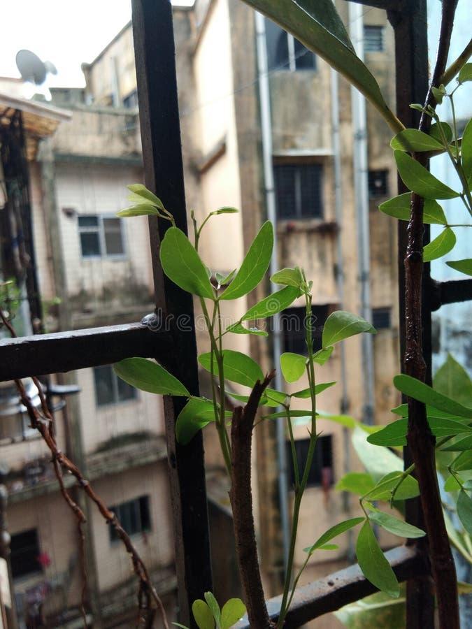 Φυσικό ινδικό δέντρο στοκ φωτογραφίες
