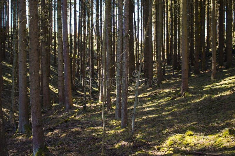 Φυσικό κωνοφόρο δάσος στη Γερμανία κατά τη διάρκεια του χρόνου άνοιξη στοκ εικόνα
