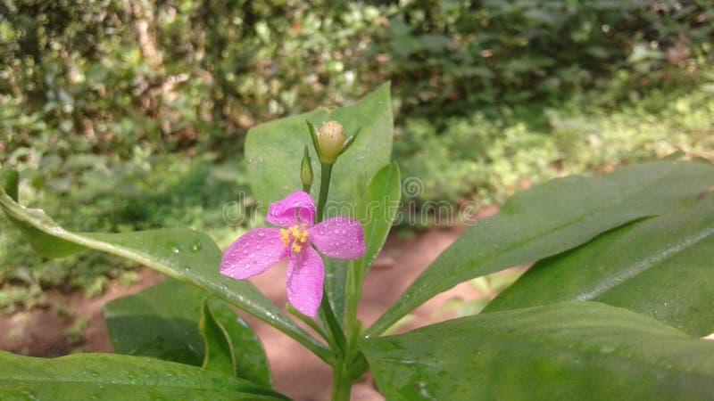 Φυσικό λουλούδι στη Σρι Λάνκα στοκ φωτογραφία με δικαίωμα ελεύθερης χρήσης