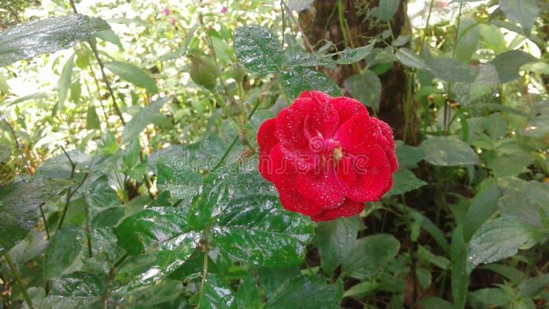Φυσικό λουλούδι στη Σρι Λάνκα στοκ φωτογραφία