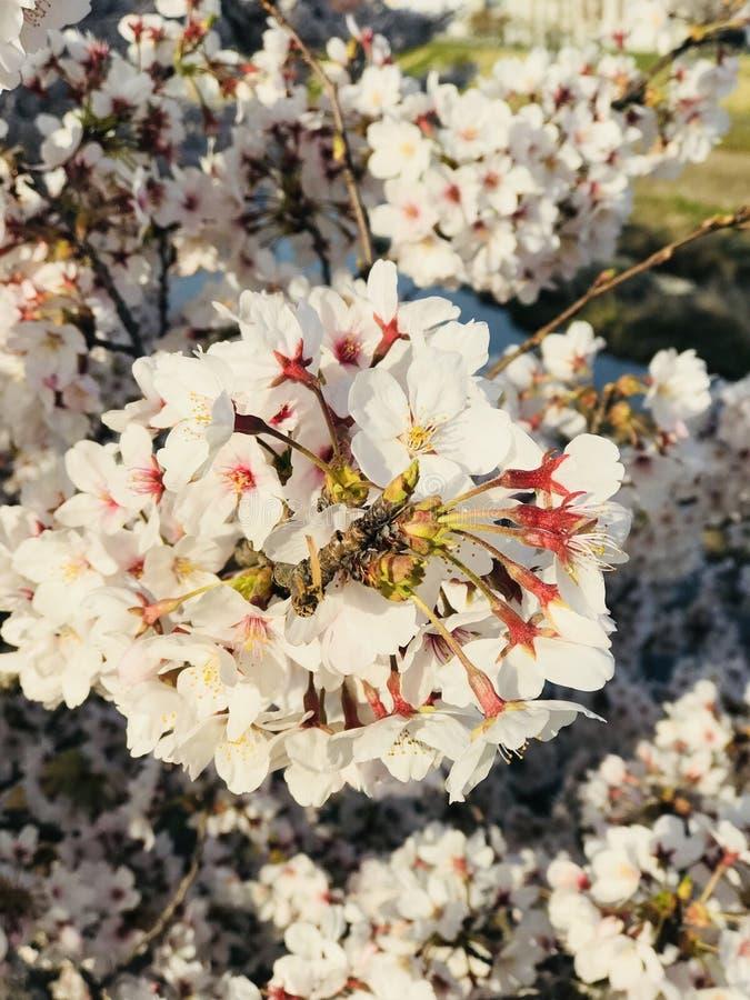 Φυσικό λουλούδι sakura της Ιαπωνίας στοκ εικόνα με δικαίωμα ελεύθερης χρήσης