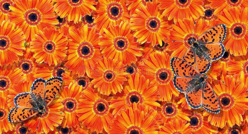 Φυσικό πορτοκαλί φόντο Φόντο υφής Orange Gerbera Φωτεινές πεταλούδες στα gerberas στοκ εικόνες με δικαίωμα ελεύθερης χρήσης