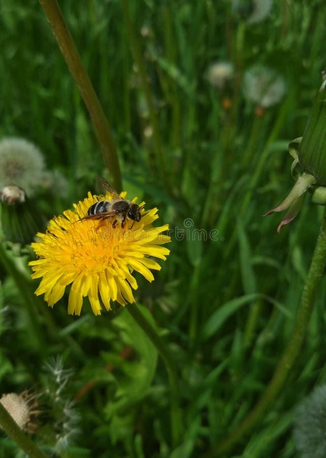 Φυσικό υπόβαθρο, μια μέλισσα σε μια κίτρινη πικραλίδα στοκ εικόνα
